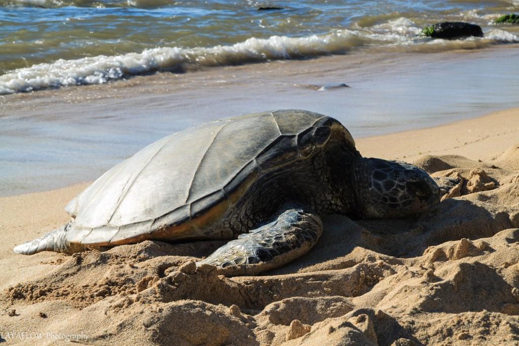 Green Sea Turtle North Shore